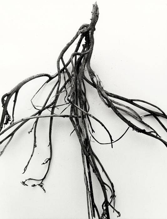 mandrake-root-no-36
