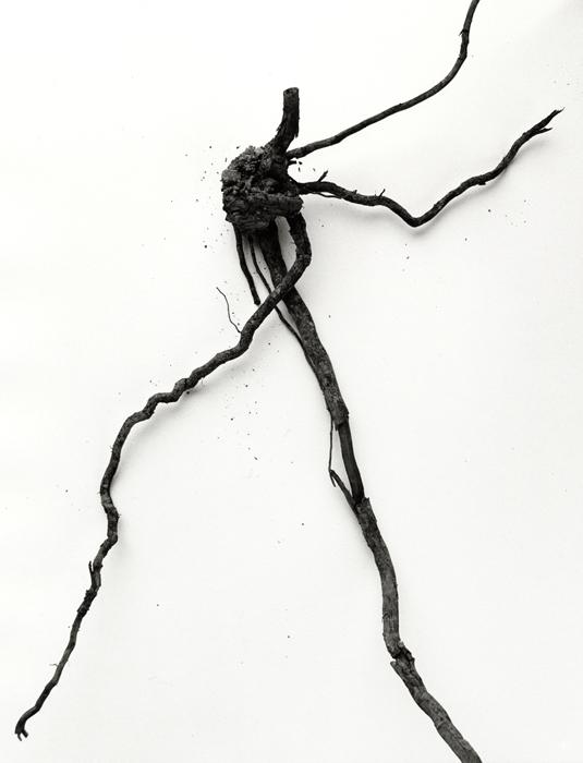mandrake-root-no-21