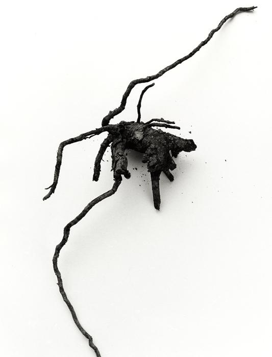 mandrake-root-no-29